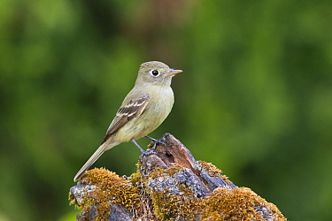 Pacific-slope Flycatcher (Empidonax difficilis), Montana