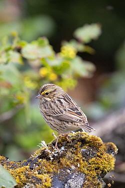 Savannah Sparrow (Passerculus sandwichensis), Montana