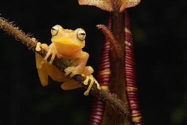 Bush Frog (Philautus nepenthophilus) on Pitcher Plant (Nepenthes mollis), Pulong Tau National Park, Sarawak, Borneo, Malaysia