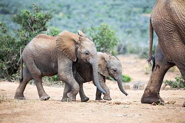 African Elephant (Loxodonta africana) calves, Addo National Park, South Africa
