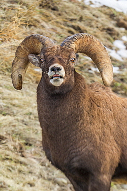 Bighorn Sheep (Ovis canadensis) ram flehming, Shoshone Canyon, Wyoming