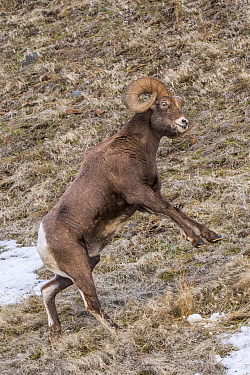 Bighorn Sheep (Ovis canadensis) ram standing about to fight, Shoshone Canyon, Wyoming