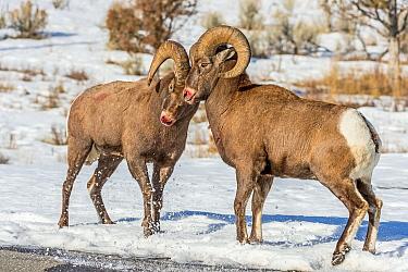 Bighorn Sheep (Ovis canadensis) rams fighting during rut, Shoshone Canyon, Wyoming