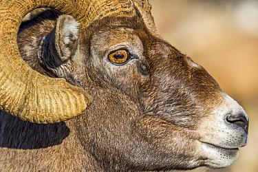 Bighorn Sheep (Ovis canadensis) ram, Shoshone Canyon, Wyoming