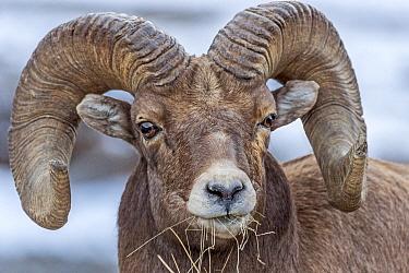 Bighorn Sheep (Ovis canadensis) ram feeding on grass, Shoshone Canyon, Wyoming