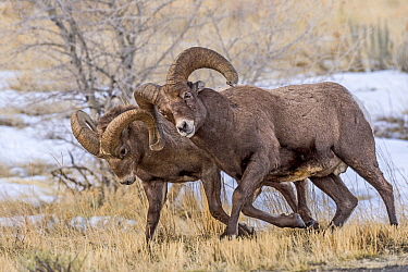 Bighorn Sheep (Ovis canadensis) rams chasing each other during fall rut, Shoshone Canyon, Wyoming