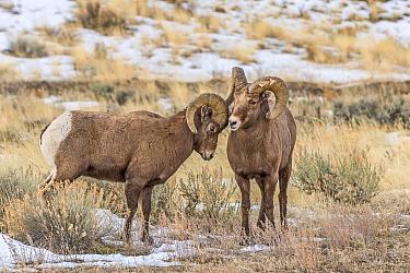 Bighorn Sheep (Ovis canadensis) ram displaying dominance, Shoshone Canyon, Wyoming