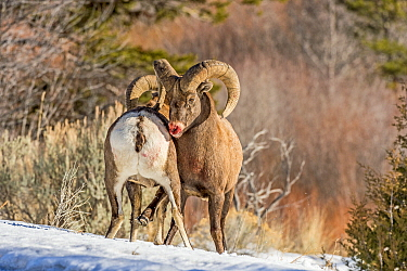 Bighorn Sheep (Ovis canadensis) rams fighting, Shoshone Canyon, Wyoming