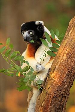 Crowned Sifaka (Propithecus verreauxi coquereli) feeding, native to Madagascar