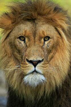 African Lion (Panthera leo) male, native to Africa