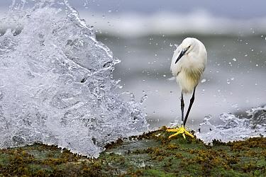Snowy Egret (Egretta thula) on coast, North America