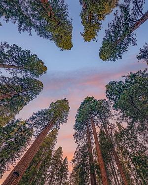 Giant Sequoia (Sequoiadendron giganteum) trees, Sequoia National Park, California