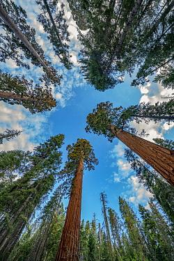 Giant Sequoia (Sequoiadendron giganteum) trees, Merced Grove, Yosemite National Park, California