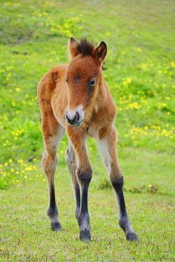 Misaki Horse (Equus caballus) foal, Cape Toi, Miyazaki, Japan