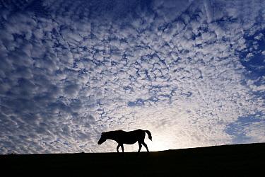 Misaki Horse (Equus caballus) at sunset, Cape Toi, Miyazaki, Japan
