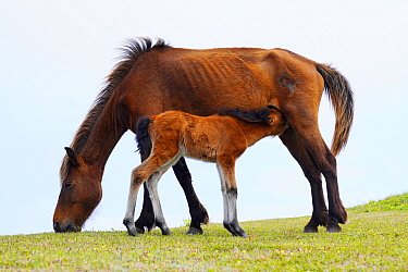 Misaki Horse (Equus caballus) mother nursing foal while grazing, Cape Toi, Miyazaki, Japan