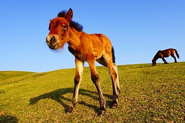 Misaki Horse (Equus caballus) foal and grazing mother, Cape Toi, Miyazaki, Japan