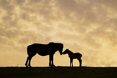 Misaki Horse (Equus caballus) mother and foal nuzzling at sunset, Cape Toi, Miyazaki, Japan