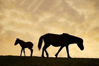 Misaki Horse (Equus caballus) mother and foal at sunset, Cape Toi, Miyazaki, Japan