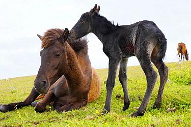 Misaki Horse (Equus caballus) foal nuzzling mother, Cape Toi, Miyazaki, Japan