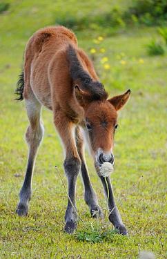 Misaki Horse (Equus caballus) foal smelling seedhead, Cape Toi, Miyazaki, Japan