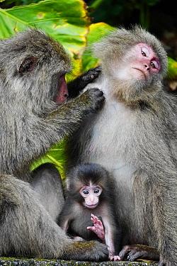 Japanese Macaque (Macaca fuscata) female grooming mother with young, Yakushima Island, Kagoshima, Japan
