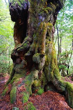 Cedar (Cedrus sp) tree, 1800 years old, Yakushima Island, Kagoshima, Japan