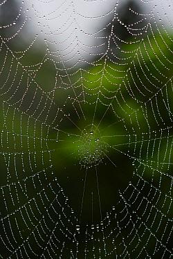 Spider web with rain drops, Yakushima Island, Kagoshima, Japan