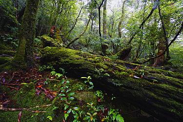 Moss-covered forest, Yakushima Island, Kagoshima, Japan