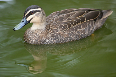 Pacific Black Duck (Anas superciliosa), native to Australia and New Zealand