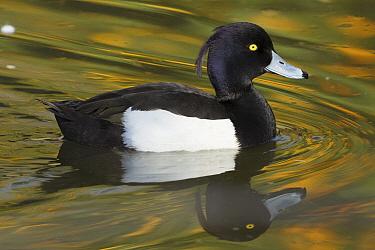 Tufted Duck (Aythya fuligula) drake, native to Europe and Asia