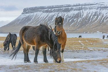 Icelandic Horse (Equus caballus) herd in winter, Grundarfjordur, Iceland