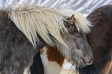 Icelandic Horse (Equus caballus), Grundarfjordur, Iceland