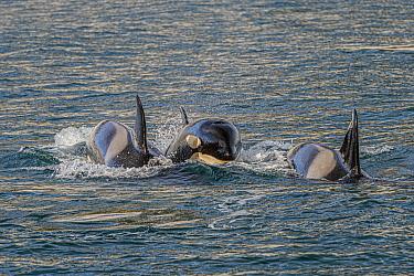 Orca (Orcinus orca) pod surfacing, Grundarfjordur, Iceland