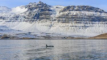 Orca (Orcinus orca) surfacing near coastal mountains, Grundarfjordur, Iceland