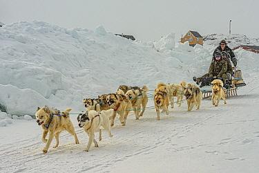 Sled Dog (Canis familiaris) team pulling sled, Kulusuk, Iceland
