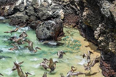 Brown Pelican (Pelecanus occidentalis) flock predating Amberstripe Scad (Decapterus muroadsi) cornered in shallow water, Bainbridge Rocks, Santiago Island, Galapagos Islands, Ecuador