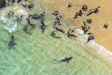 Galapagos Sea Lion (Zalophus wollebaeki) group hunting cooperatively by driving Amberstripe Scad (Decapterus muroadsi) into shallow cove, with Brown Pelicans (Pelecanus occidentalis) and sharks taking...