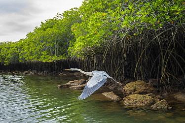 Great Blue Heron (Ardea herodias) taking flight at coast with mangroves, Turtle Cove, Santa Cruz Island, Galapagos Islands, Ecuador