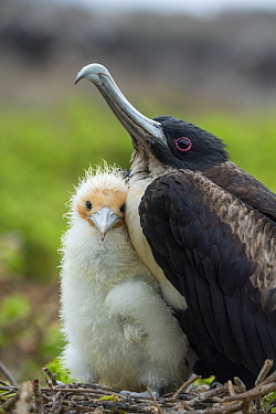 Great Frigatebird (Fregata minor) parent and chick on nest, Genovesa Island, Galapagos Islands, Ecuador