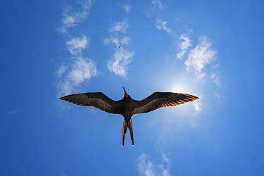 Magnificent Frigatebird (Fregata magnificens) flying, Bainbridge Rocks, Santiago Island, Galapagos Islands, Ecuador