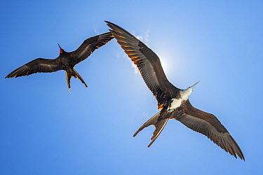 Magnificent Frigatebird (Fregata magnificens) pair flying, Bainbridge Rocks, Santiago Island, Galapagos Islands, Ecuador