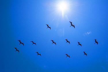 Magnificent Frigatebird (Fregata magnificens) flock flying, Bainbridge Rocks, Santiago Island, Galapagos Islands, Ecuador