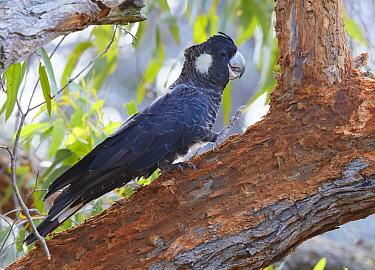 Baudin's Black Cockatoo (Zanda baudinii), Busselton, Western Australia, Australia