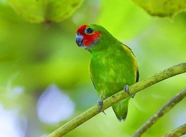 Double-eyed Fig-Parrot (Cyclopsitta diophthalma), Kutini-Payamu National Park, Queensland, Australia
