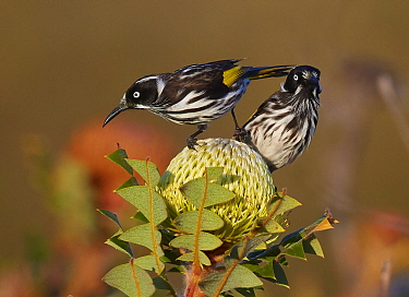 New Holland Honeyeater (Phylidonyris novaehollandiae) pair, Cheyne Beach, Western Australia, Australia