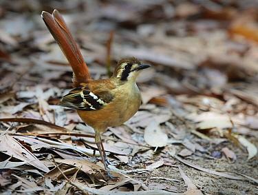 Northern Scrub-Robin (Drymodes superciliaris), Kutini-Payamu National Park, Queensland, Australia