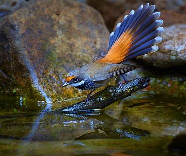 Rufous Fantail (Rhipidura rufifrons) drinking at pond, Malanda, Queensland, Australia