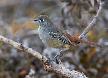 Southern Scrub-Robin (Drymodes brunneopygia), Stirling Range National Park, Western Australia, Australia