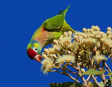 Varied Lorikeet (Psitteuteles versicolor) feeding on flowers, Boodjamulla National Park, Queensland, Australia
